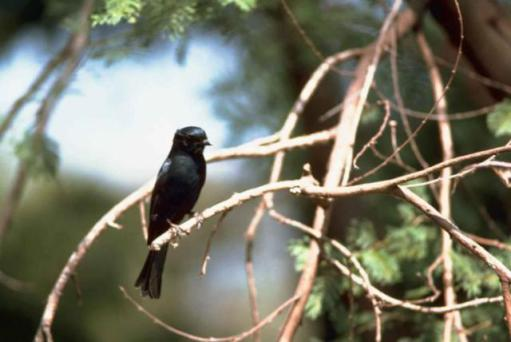 Blackbirds are adding human-based noises to their song repertoires