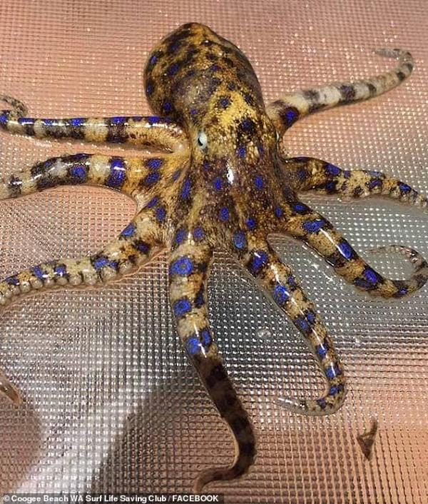 Girl Accidentally Brings Home Deadly Blue-Ringed Octopus