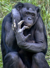 Bonobos will also one day experience the pains of carpal tunnel.