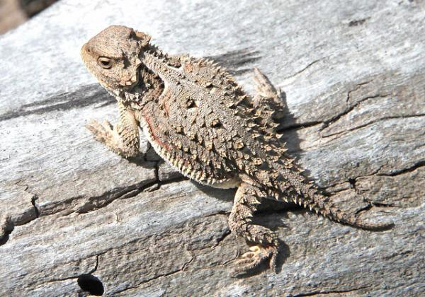 Animals Of The U.S. Southern Border: Horned Lizards