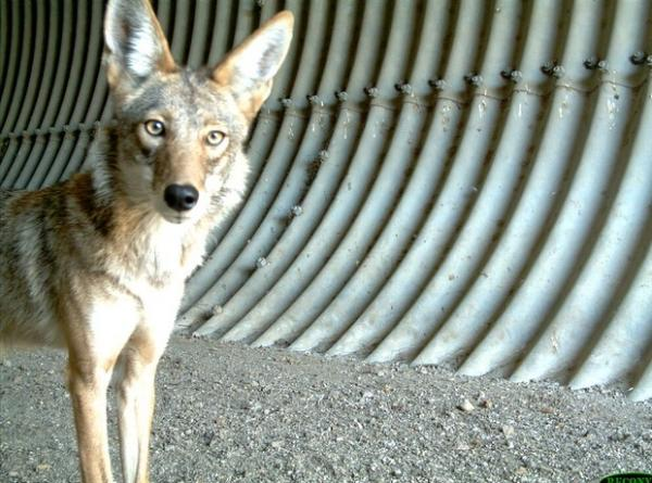 Animals Of The U.S. Southern Border: Coyotes