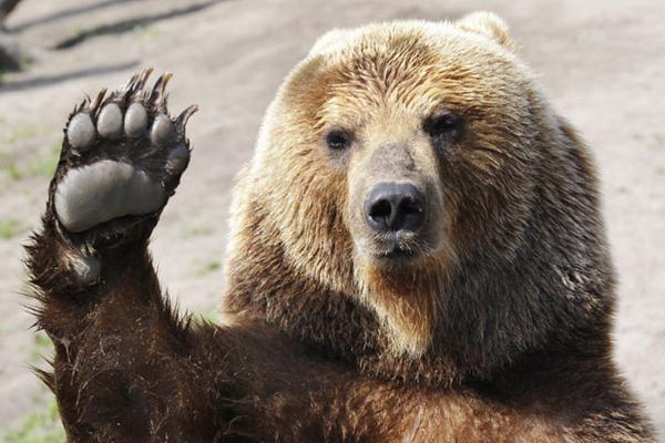 brown bear salute