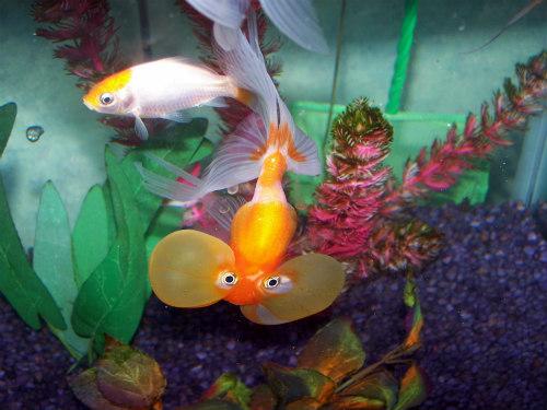 Starter Pets for Kids: Bubble Eye Goldfish & Comet for starter pets