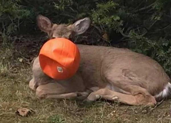 Bucket Head Buck Freed From Spooky Halloween Hangover