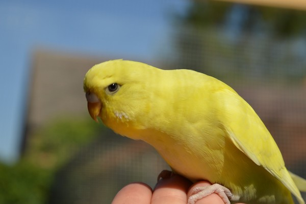 Hand taming a budgie