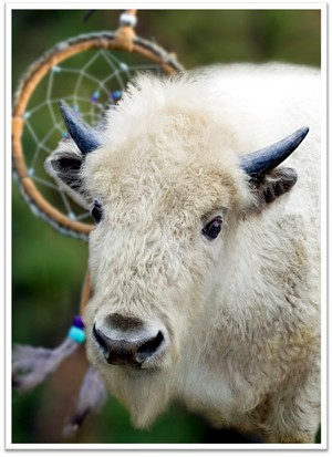 Blizzard the White Buffalo