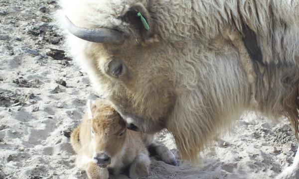 White Buffalo and Calf