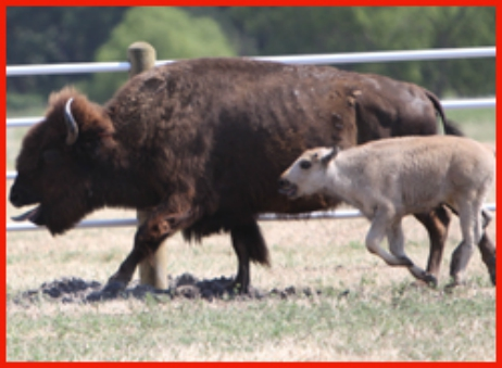 White Buffalo Calf