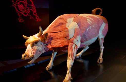 Bull, plastinated: © Gunther von Hagens, Institute for Plastination, Germany