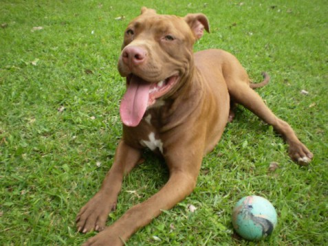 American Pit Bull Terrier (Public Domain Image))
