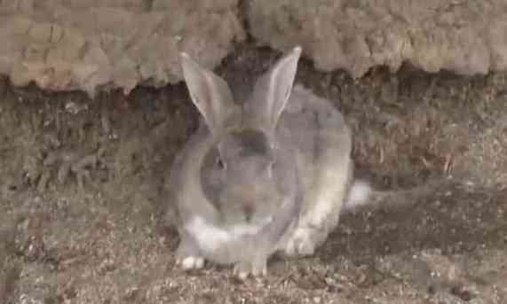 A Rabbit of Rabbit Island (You Tube Image)