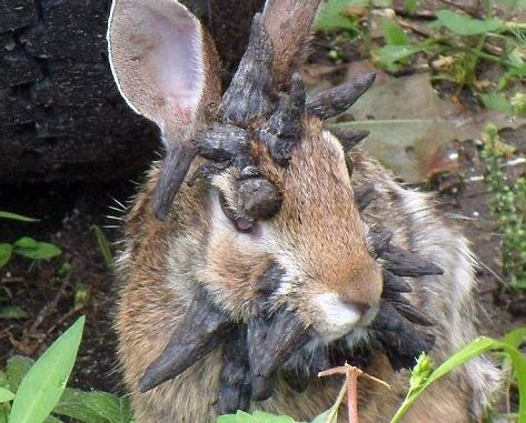 Frankenstein -- A Rabbit Infected With Shope Papilloma Virus (You Tube Image)