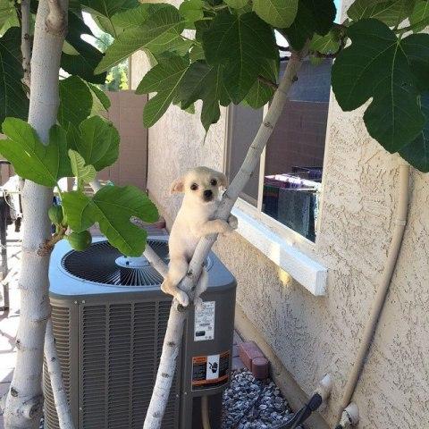 Treed Chihuahua (Image via BuzzFeed)