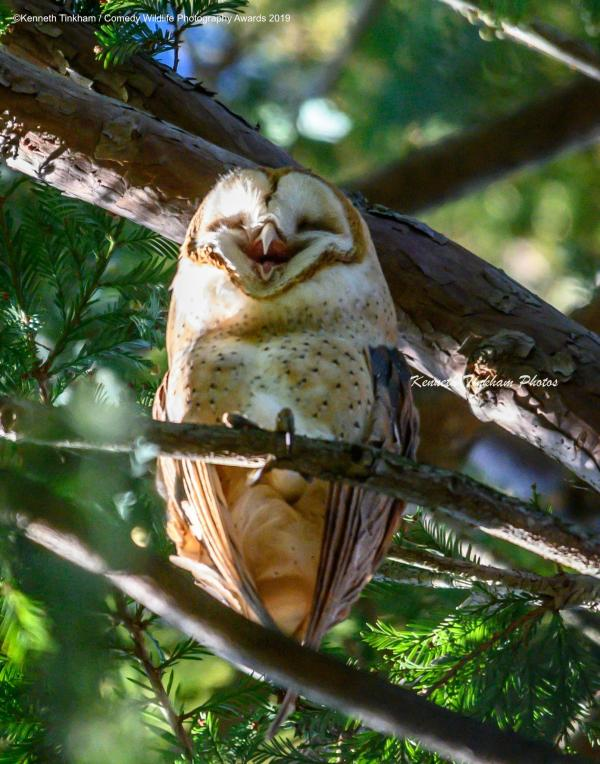 Laughing Barn Owl: Photographer Kenneth Tinkham