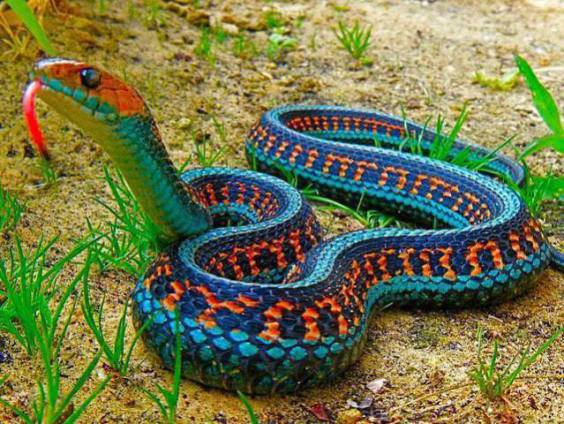 California Red Garter Snake (Image via I F***ing Love Science