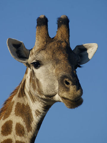 Giraffe (Photo by Hans Hillewaert/Creative Commons via Wikimedia)