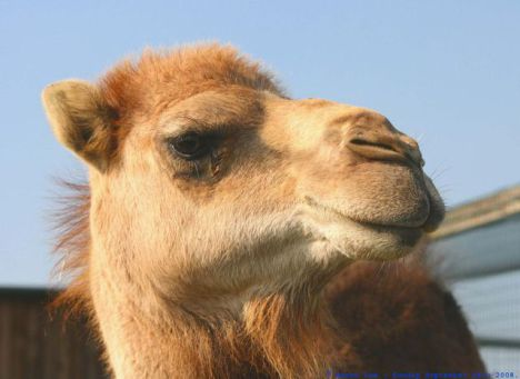 Camel (Photo by Keven Law/Creative Commons via Wikimedia)