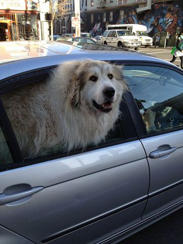 A dog in a car NOT on a hot day. (Photo by Almonroth/Creative Commons via Wikimedia)