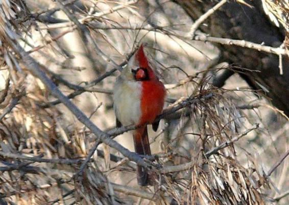 Cardinal Gynadromorph (Image via I F***ing Love Science)