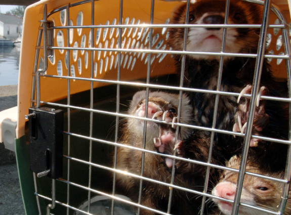 Traveling Ferrets