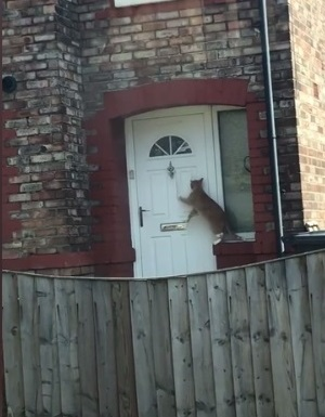 World's Politest Cat Knocks On The Door Before Entering