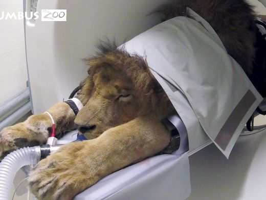 Columbus Zoo Gives Big Cat A CAT-Scan