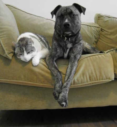Compatible Cat and Dog (Photo by Ohnoitsjamie/Creative Commons via Wikimedia)