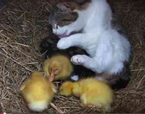 Mama Cat And Her Litter Of Kittens . . . And Ducklings (You Tube Image)