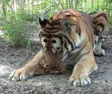 Tiger Enjoying Catnip (You Tube Image)