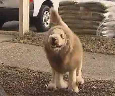 Charles the Monarch -- the Labradoodle Lion (You Tube Image)
