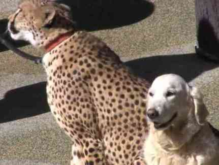 Cheetah And Dog Are Best Friends At The Zoo (You Tube Image)