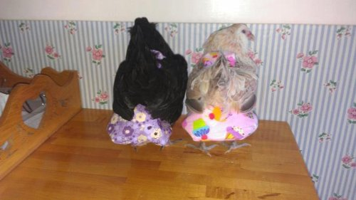 Chickens in Diapers