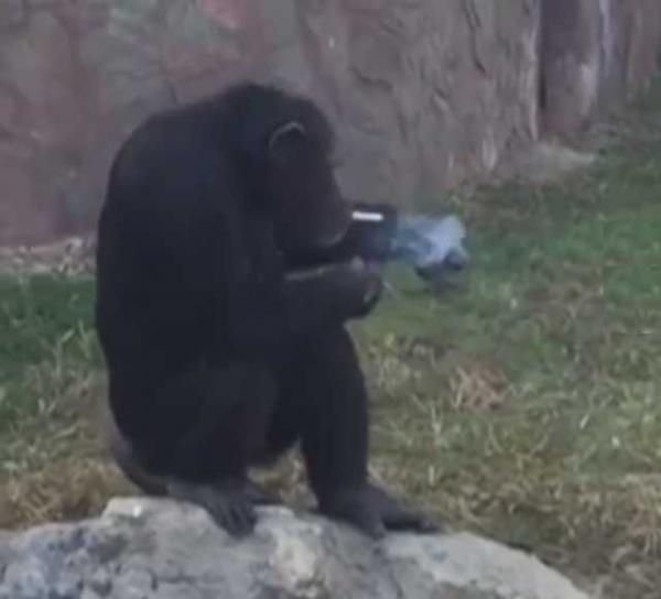 Smoking Chimp At North Korean Zoo Puffs A Pack A Day