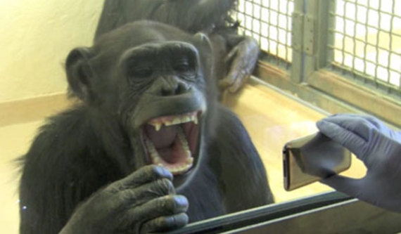 Chimp catches yawn from her group members on an iPod.: © Yerkes National Primate Research Center via Livescience.com