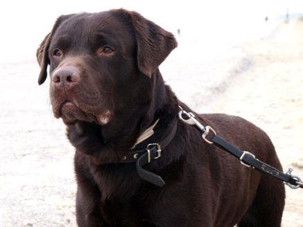 Chocolate Labrador Retriever Portrait (Photo by J187B/Creative Commons via Wikimedia)