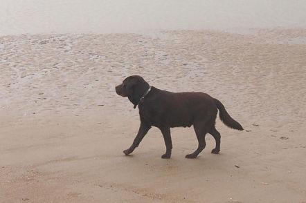 Chocolate Labrador Retriever on the Beach (Photo by J187B/Creative Commons via Wikimedia)