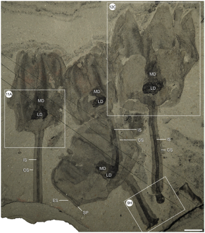 Phtograph from O'Brien LJ, Caron J-B (2012) A New Stalked Filter-Feeder from the Middle Cambrian Burgess Shale, British Columbia, Canada. PLoS ONE 7(1): e29233. doi:10.1371/journal.pone.0029233
