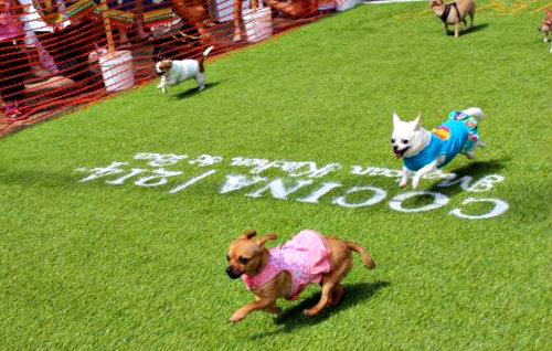 The Running Of The Chihuahuas For Cinco De Mayo In Winter Park Fl Let The Race Begin