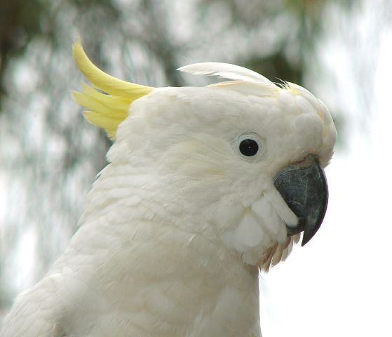 Cockatoo (Photo by Louise Docker/Creative Commons via Wikimedia)
