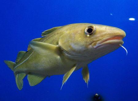 Cod (Photo by August Linmann/Creative Commons via Wikimedia)