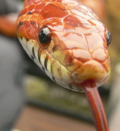 A corn snake like the one found in a home in England