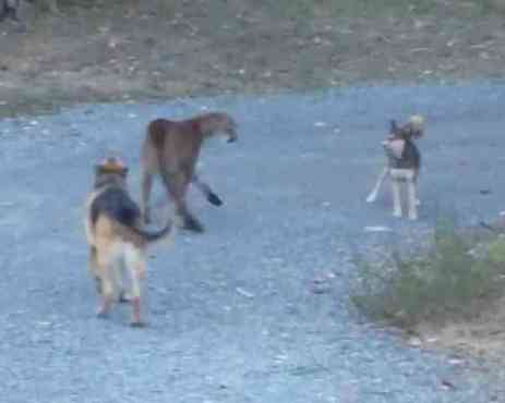 Dogs Face Off With Cougar (You Tube Image)
