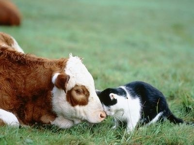 Cat and Cow Cuddle (Photo via Pinterest)