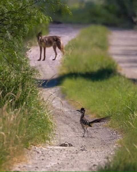Road Runner and Coyote -- In the Beginning