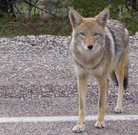 Coyote (Photo by marya (emdot)/Creative Commons via Wikimedia)