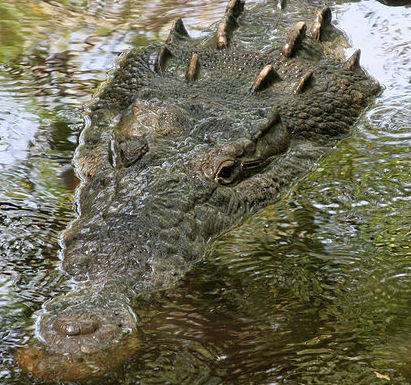 American Crocodile (Photo by Tomás Castelazo/Creative Commons via Wikimedia)