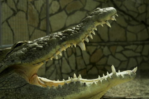Crocodile: Even these gigantic reptiles are suspected of exhibiting ASEC