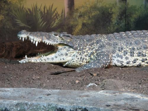Adult Cuban crocodile: image via naturescrusaders.wordpress.com/