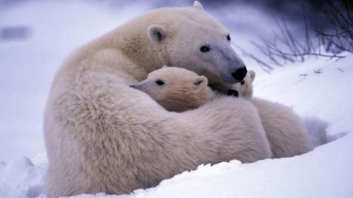 Polar Bear Cuddles