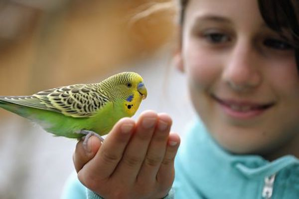 Parakeet on child's hand